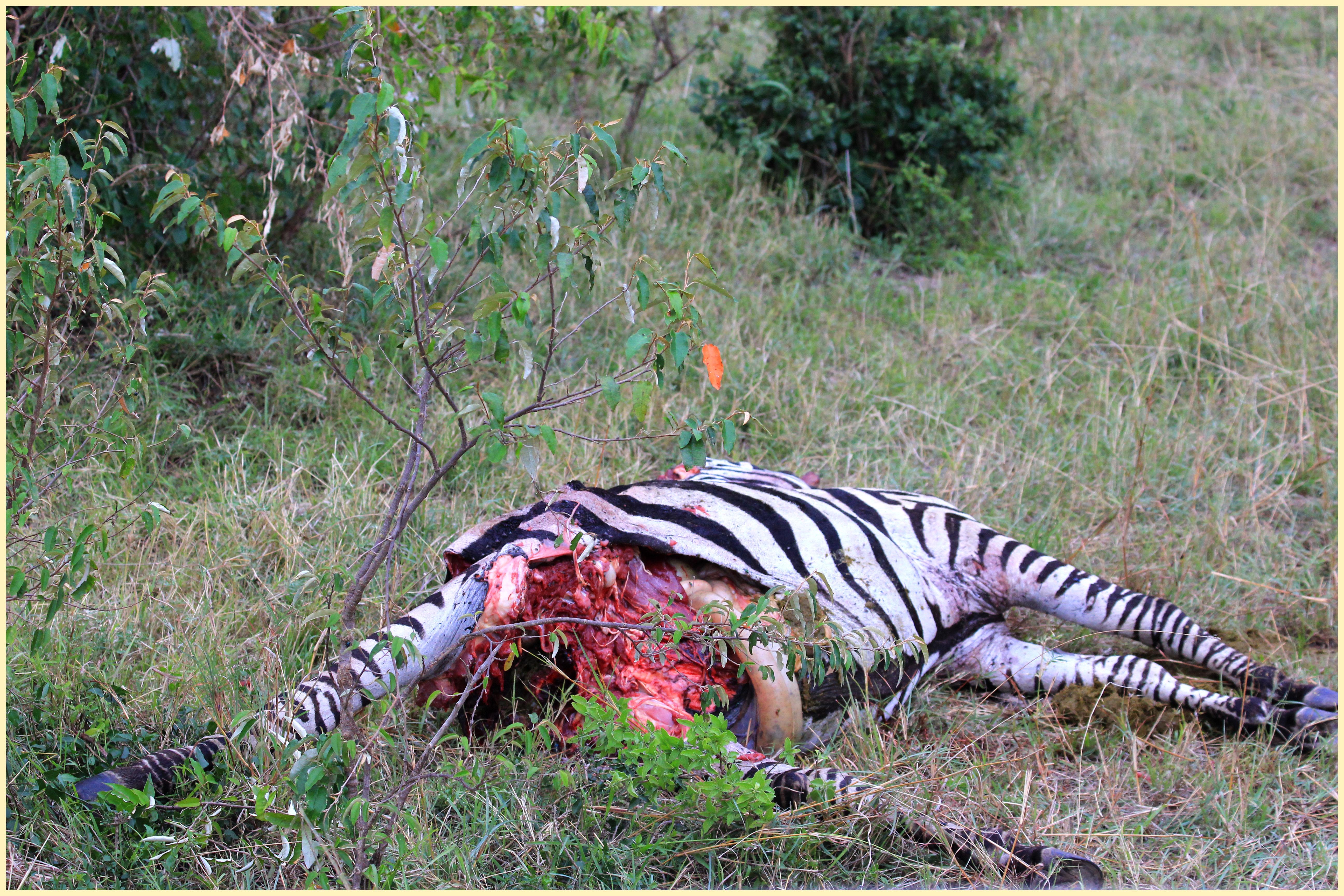 Img Crocodile Eats Zebra