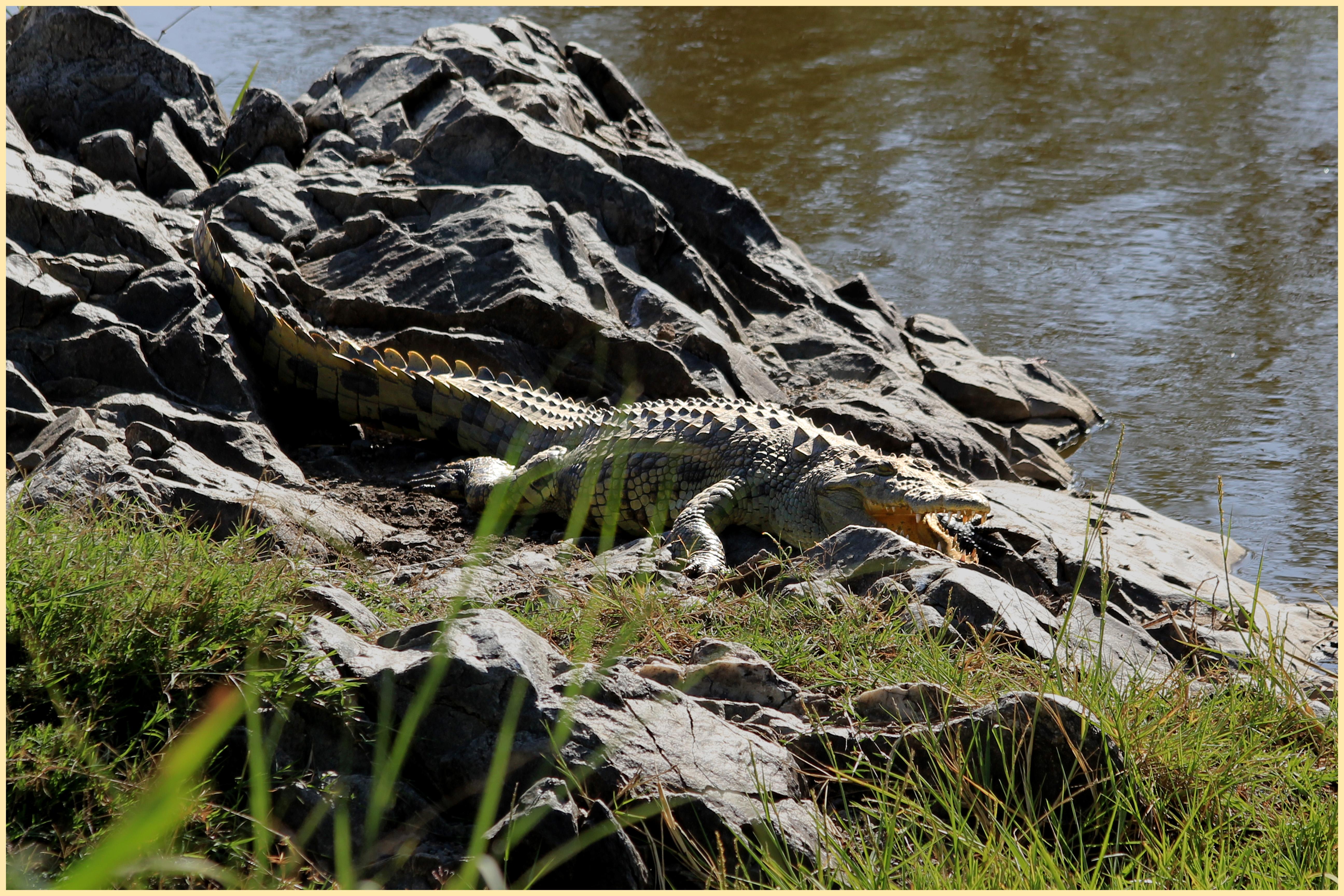 Nile crocodile eating zebra - photo#27