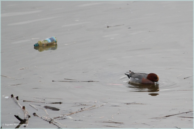 Wigeon and bottle