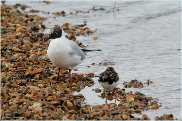 Black-headed Gill and Turnstone