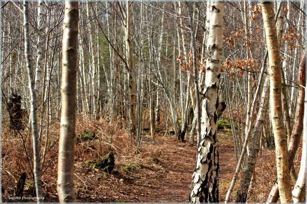 Silver Birch wood
