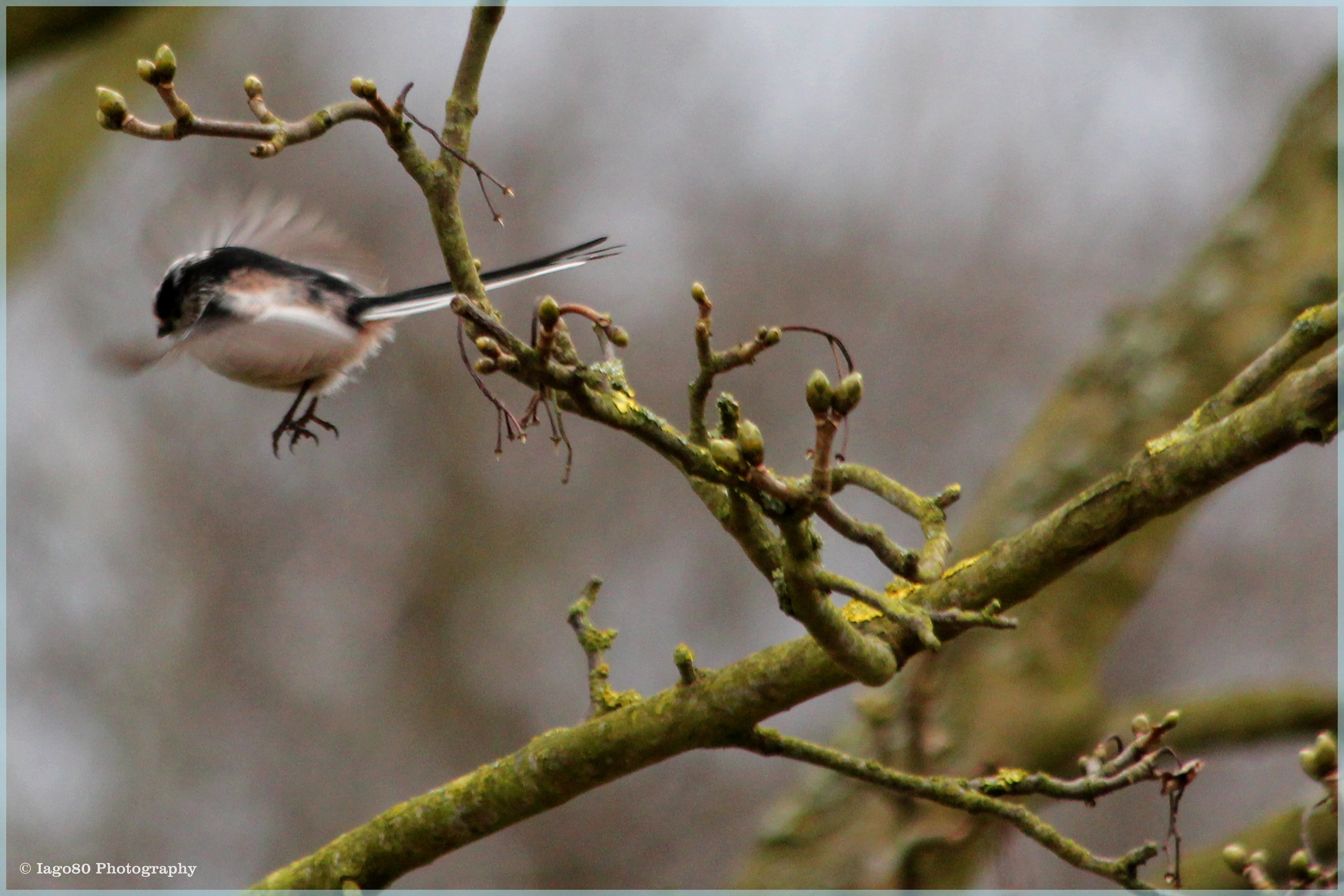 It Is Estimated That Up To 80 Per Cent Of All Long Tailed Tits Will Die In A Cold Winter