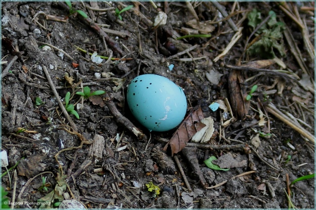 Song Thrush egg