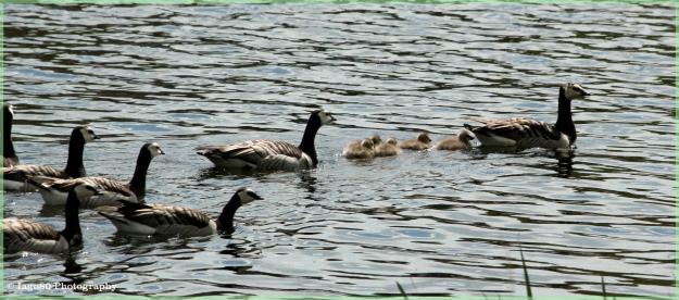 Barnacle Goose 2