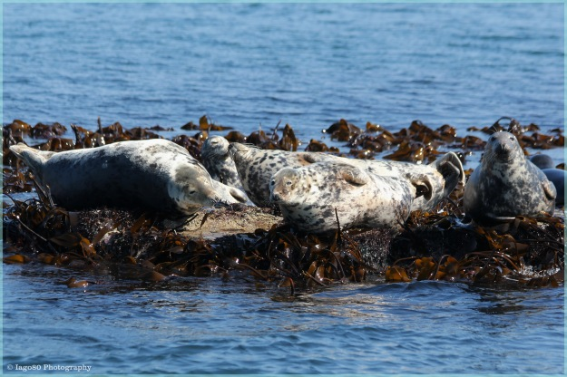 Lounging Grey Seals