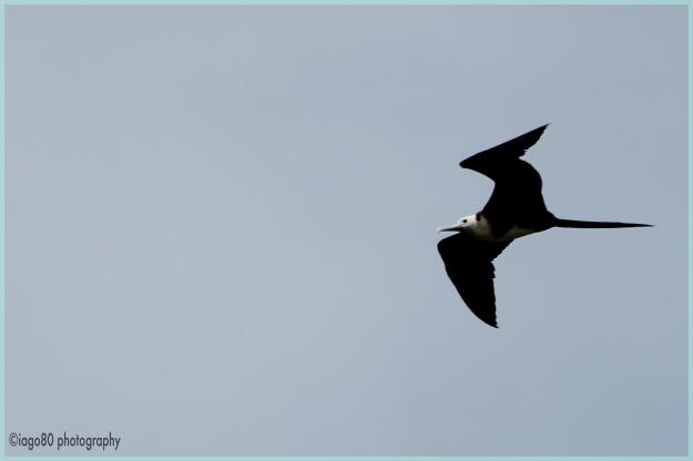 Juvenile frigatebird