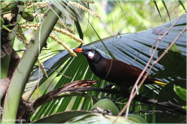 Montezuma Oropendula