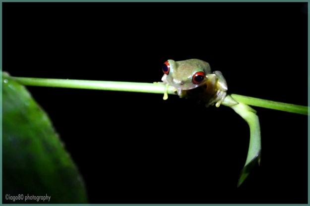 Re-eyed Brook Frog