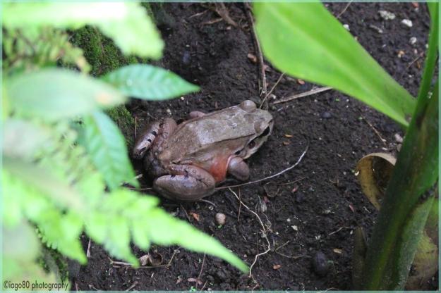 Savage frog