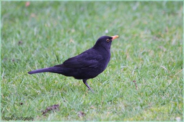 Blackbird (Turdus melua)
