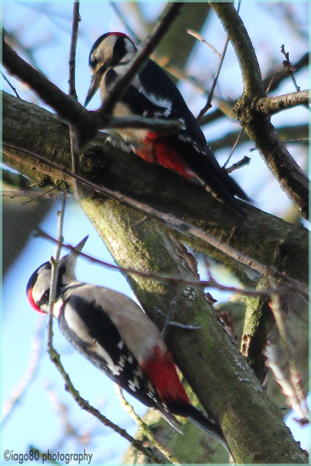 Great-spotted Woodpecker (Dendrocopos major)
