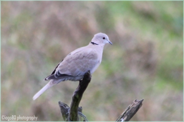 Collared Dove (Streptopelia decoacto)