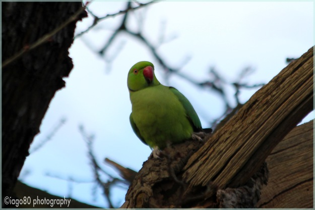 Rose-ringed (or ring-necked) Parakeet (Psittacula krameri)