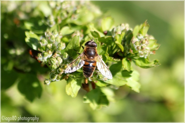 Common Drone Fly (Eristalis tenax)