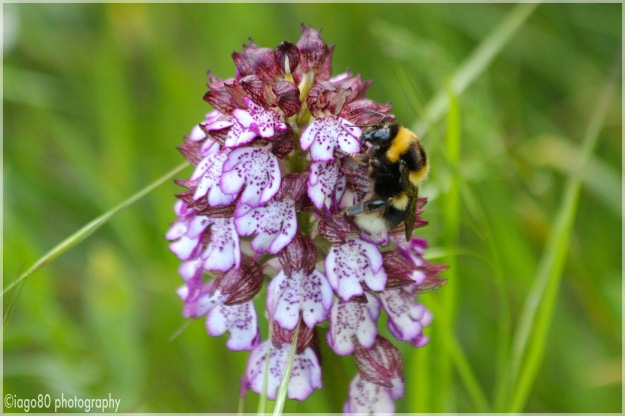 Lady orchid (Orchis purpurea) with Buff-tailed Bumblebee (Bombus terrestris)