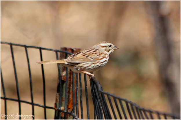 Song Sparrow (Melospiza melodia)