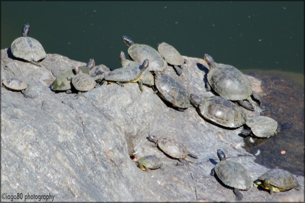 At least two species, but mainly the Red-eared Slider (Trachemys scripta elegans)