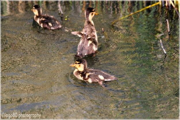 Mallard ducklings (Anas platyrhinchos)