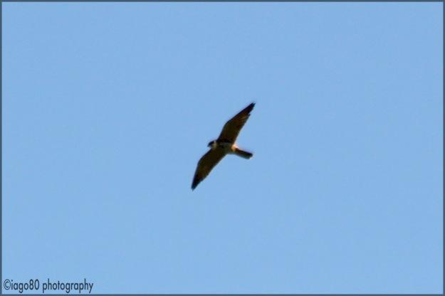 Eurasian Hobby (Falco subbuteo)