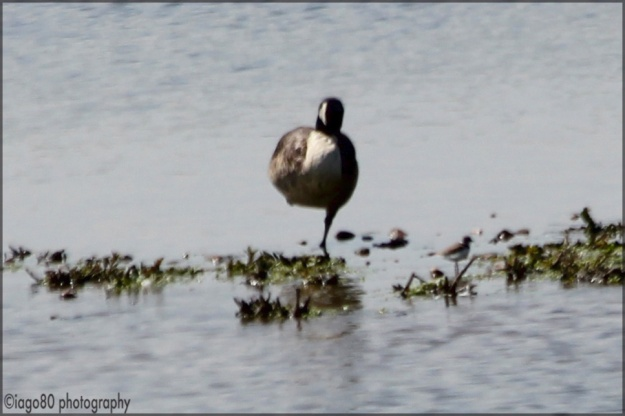 Little Ringed Plover (Charadrius dubius) to the right of the roosting Canada Goose (Branta canadensis)