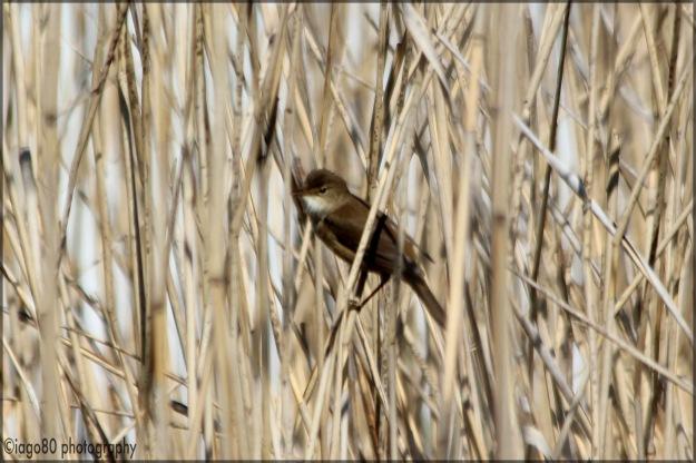 Eurasian Reed Warbler (Acrocephalus scirpaceus)