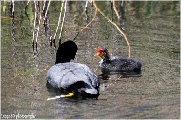 Eurasian Coot with chick (Fulica atra)