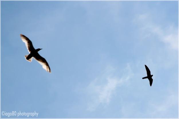 Hobby and gull