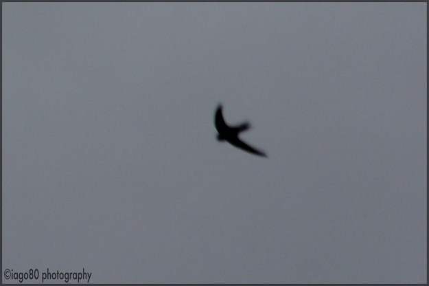 Common Swift (Apus apus)