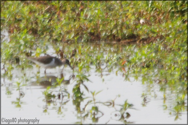 Common Sandpiper (Actitis hypoleucos)