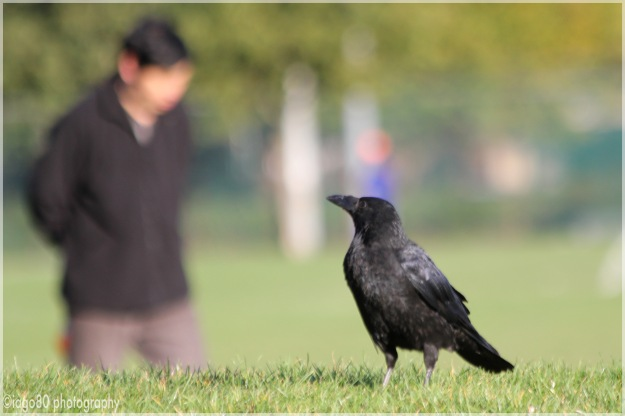 Carrion Crow (Corvix corone)