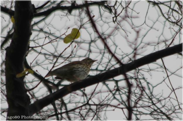 Song Thrush (Turdus philomelos)