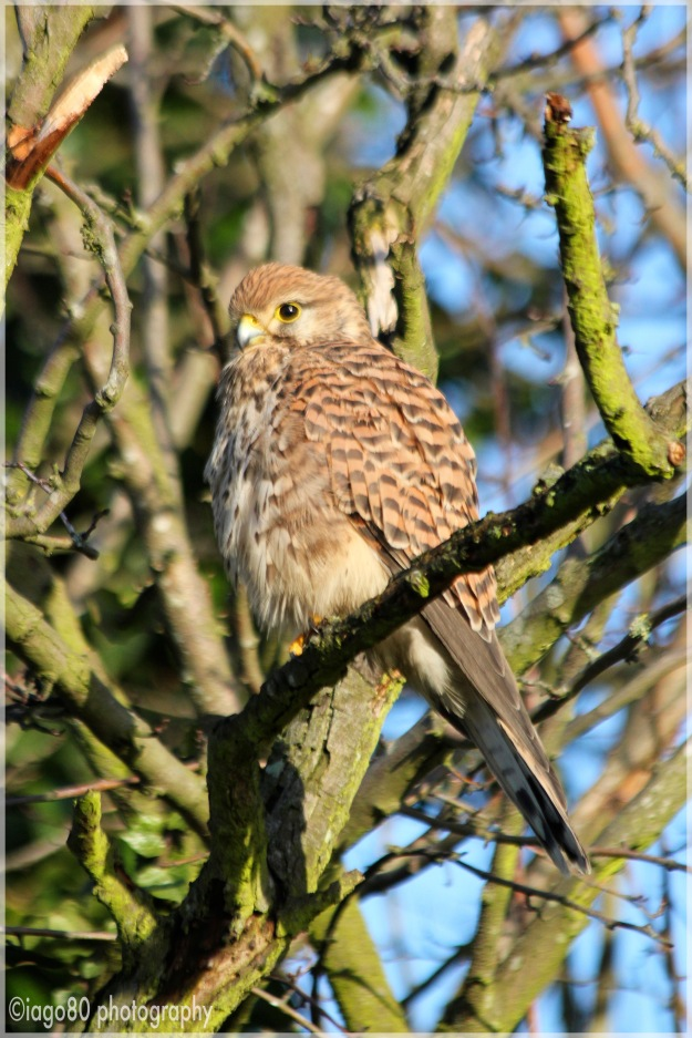 Female Kestrel: Point F on the map