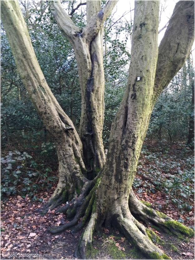 Common Hornbeam (Carpinus betulus)