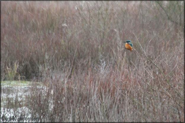 Common (or Eurasian) Kingfisher (Alcedo atthis)