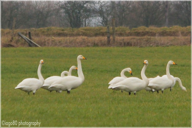 Closer up of the Whoopers