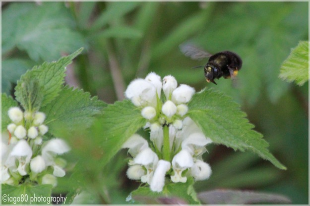 Female Hairy-footed Flower Bee (Anthophora plumipes) visiting White Nettle Lamium album)