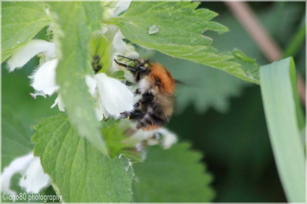Tree Bumblebee (Bombus hypnorum)
