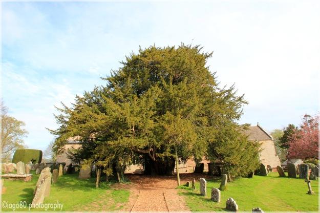 European Yew (Taxus baccata)
