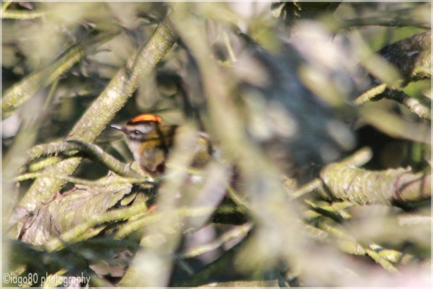 Common Firecrest (Regulus ignicapilla)