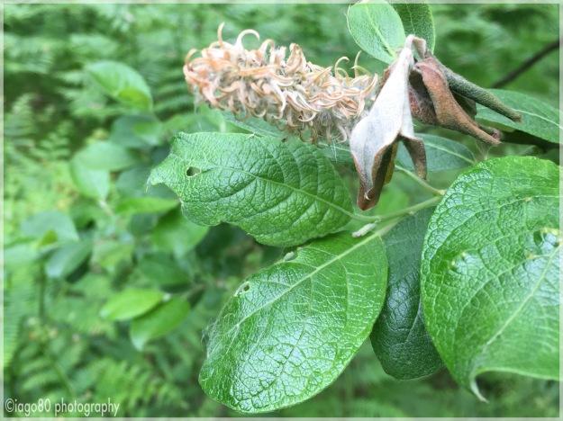 (Salix caprea)