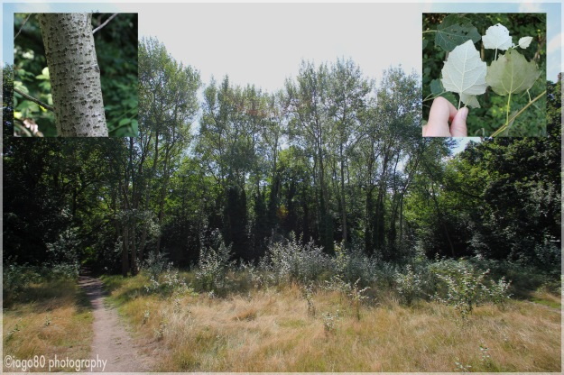 Grey Poplar (Populus × canescens) and White Poplar (Populus alba)