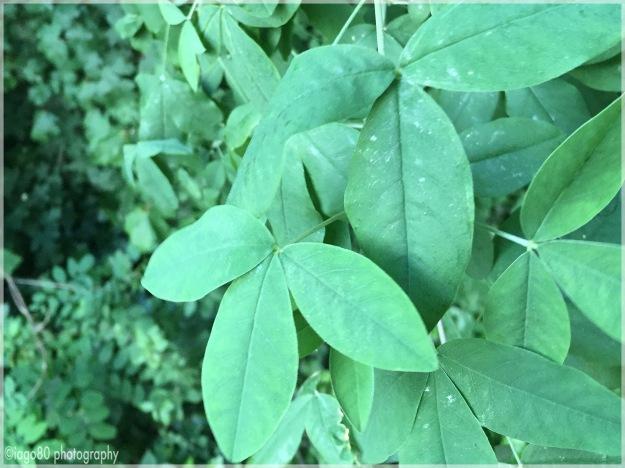 Common Laburnum (Laburnum anagyroides)