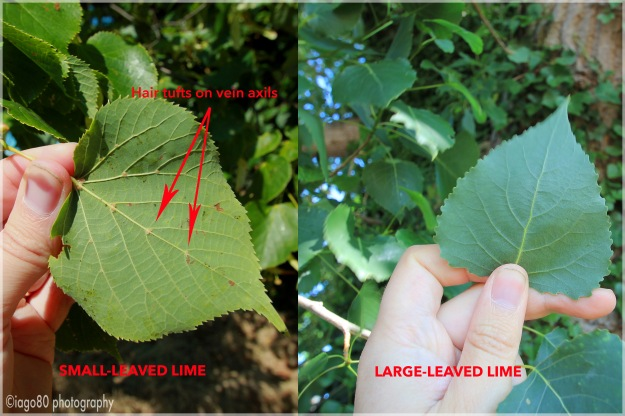 Leaf comparison of small and large leaved Limes