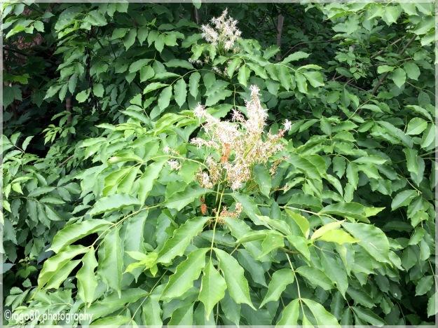 Manna Ash (Fraxinus ornus)