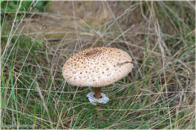 Parasol mushroom (Macro Lepiota procera)