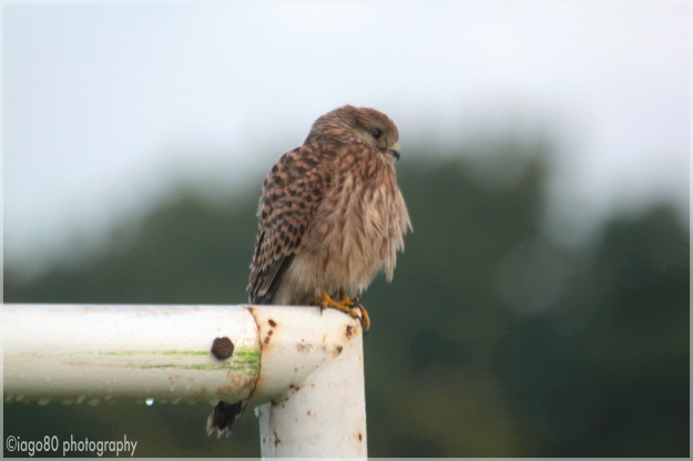 Female Common Kestrel (Falco tinnunculus)