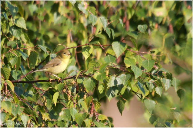 Willow Warbler (Phylloscopus trochilus) - I think!