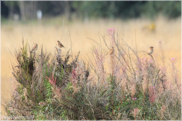 Four Whinchat in a bush