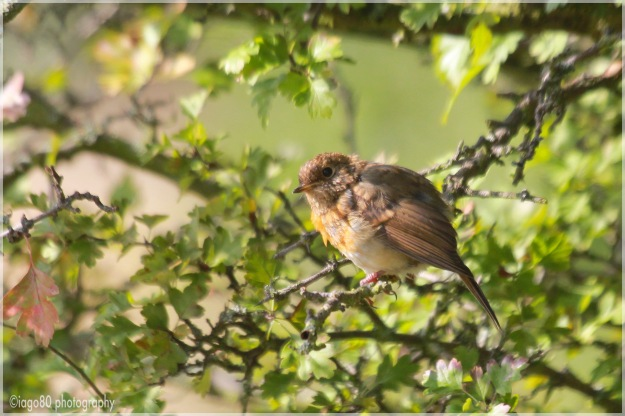 Juvenile Robin (Erithacus rubecula)