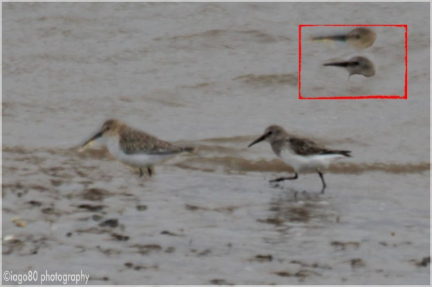 Dunlin (Calidris alpina) alpina subspecies on left (and above in box) and schinzii on right (and below)